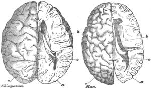 Das Gehirn eines Schimpansen (links) im Vergleich zu dem eines Menschens (rechts)
